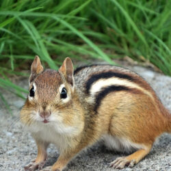 7 Reasons Our Friendly Neighborhood Chipmunk Is Smarter Than Me